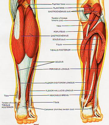 Lower Leg Anatomy Fooyoh Entertainment