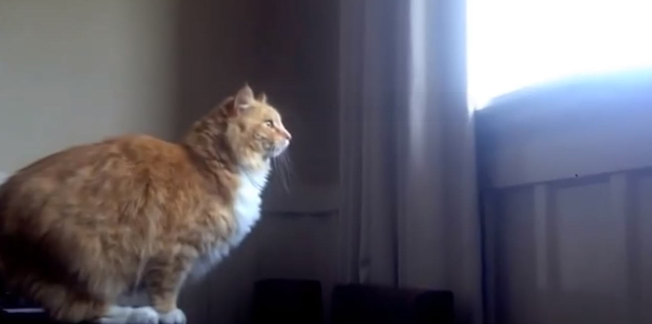 Watch This Fat Cat Fail At The Same Thing TWICE [VIDEO