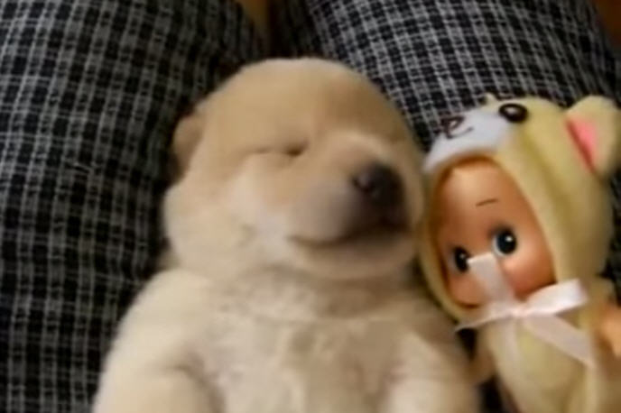 Warning This Video May Be Too Cute To Handle Here S A Fluffy Golden Retriever Puppy Taking Nap On His Human Lap Dreaming And Baby Barking Away